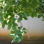 夏椿とくちなし、心地良さにうちのめされた7月の多治見ツキイチ朝ヨガ